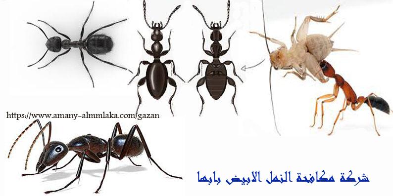 افضل شركة مكافحة النمل الابيض بابها