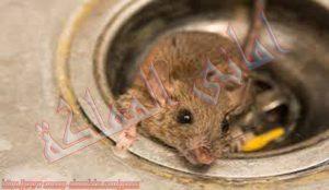 شركة مكافحة الفئران ببيشة